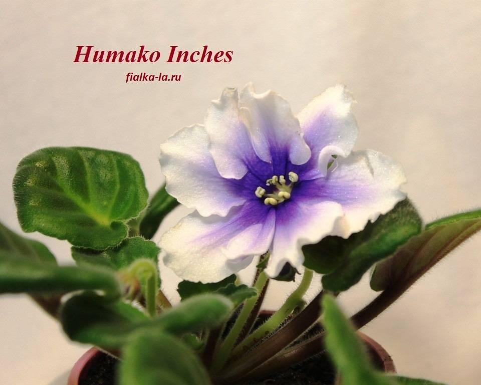 Описание сорта фиалки humako inches: выращивание хумако инчес на подоконнике дома