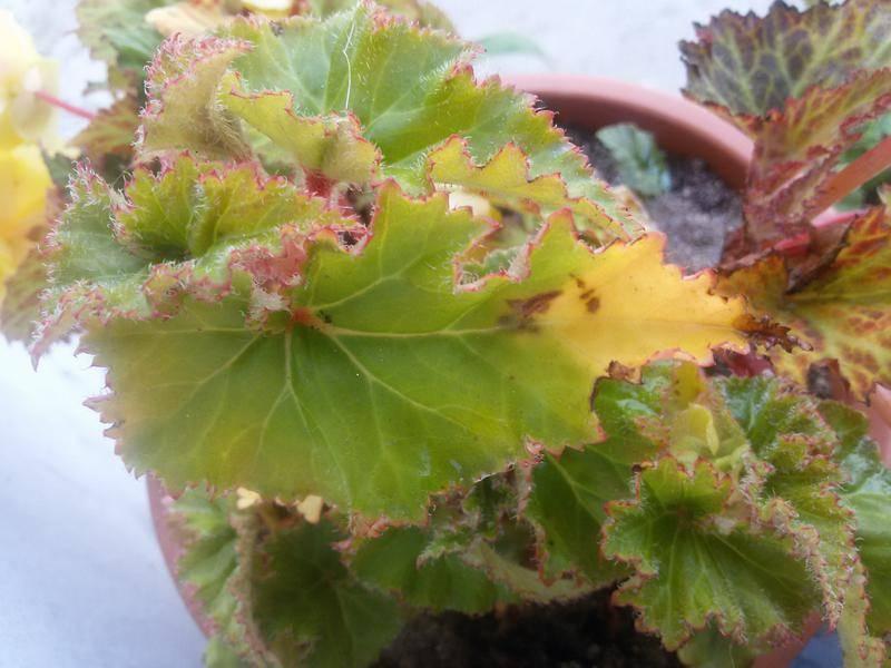 У герани желтеют и сохнут листья по краям: почему это происходит, от чего начинается увядание бутонов комнатного растения и как спасти цветок в домашних условиях?