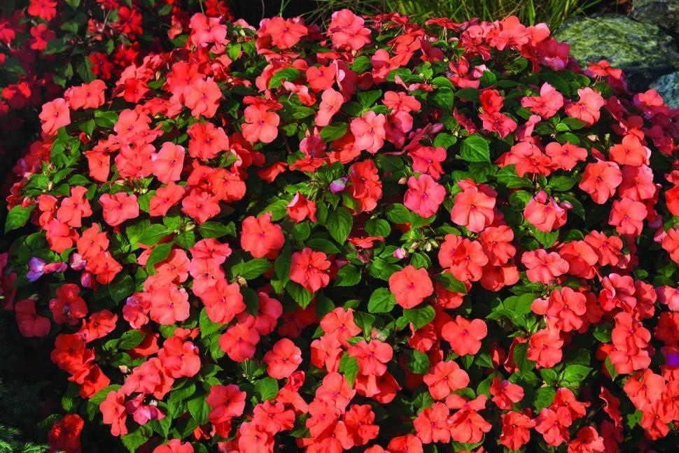 Цветок ампельный калибрахоа — описание, правила посадки в кашпо, выращивание