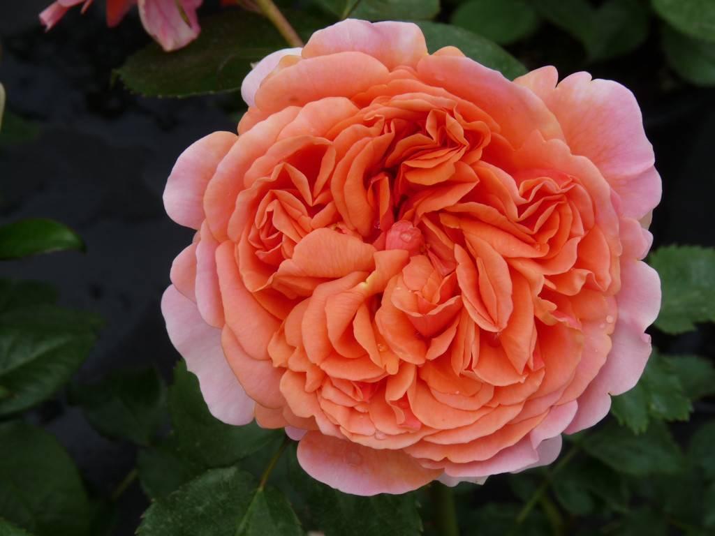 Чиппендейл (роза): описание сорта, выращивание, уход и особенности