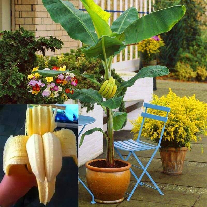 Банан (banana). уход и выращивание в домашних условиях.
