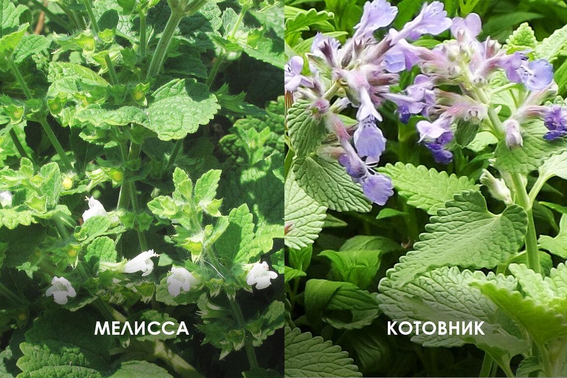 Отличие котовника и мелиссы: в чем разница между лимонной и кошачьей мятой, почему думают, что это одно и то же растение, как выглядят на фото?