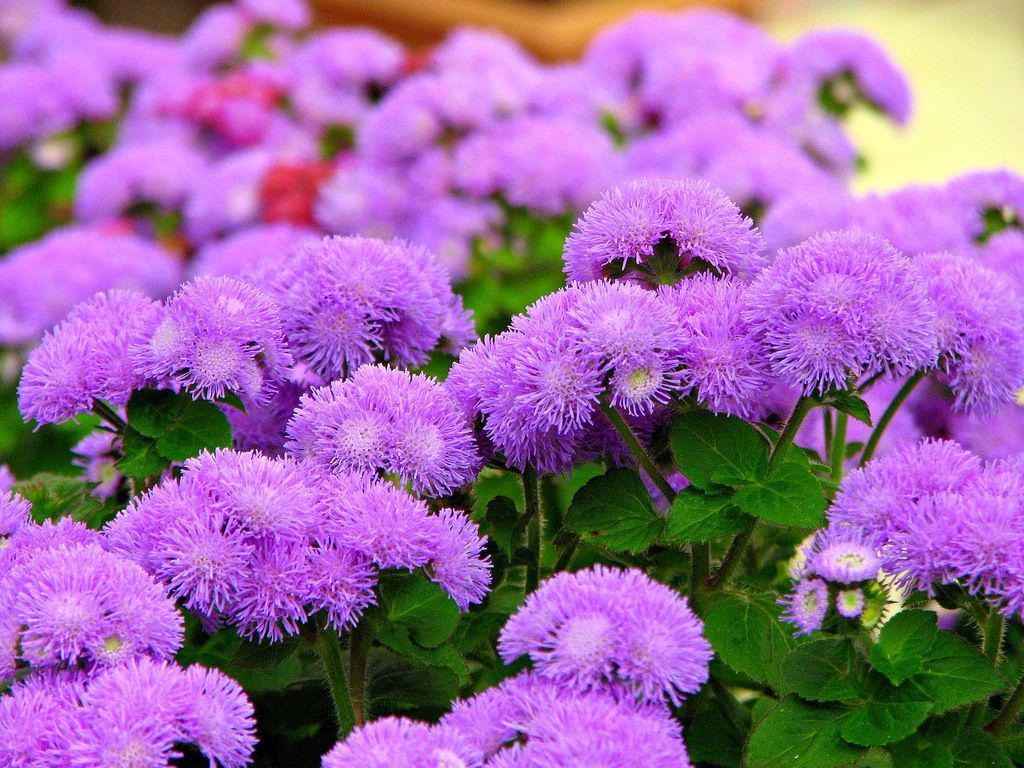Цветы голубой агератум: описание сортов, посадка и уход