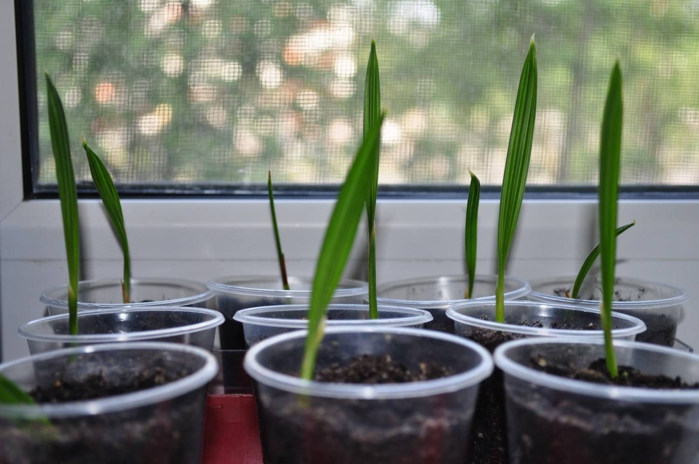 Финиковая пальма: уход в домашних условиях. советы для начинающих