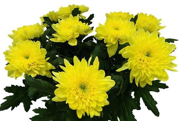 Однолетняя хризантема (39 фото): названия сортов садовых цветов, посадка хризантемы и уход за ней