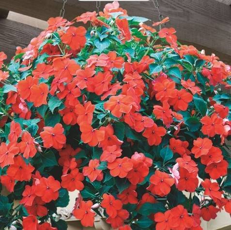 Виола ампельная в кашпо, выращивание из семян в домашних условиях