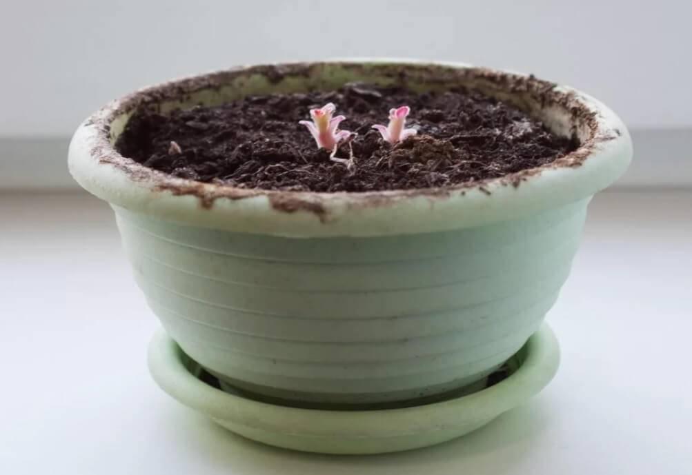 Глоксиния: посадка клубня после зимнего покоя, секреты ухода и выращивания цветка