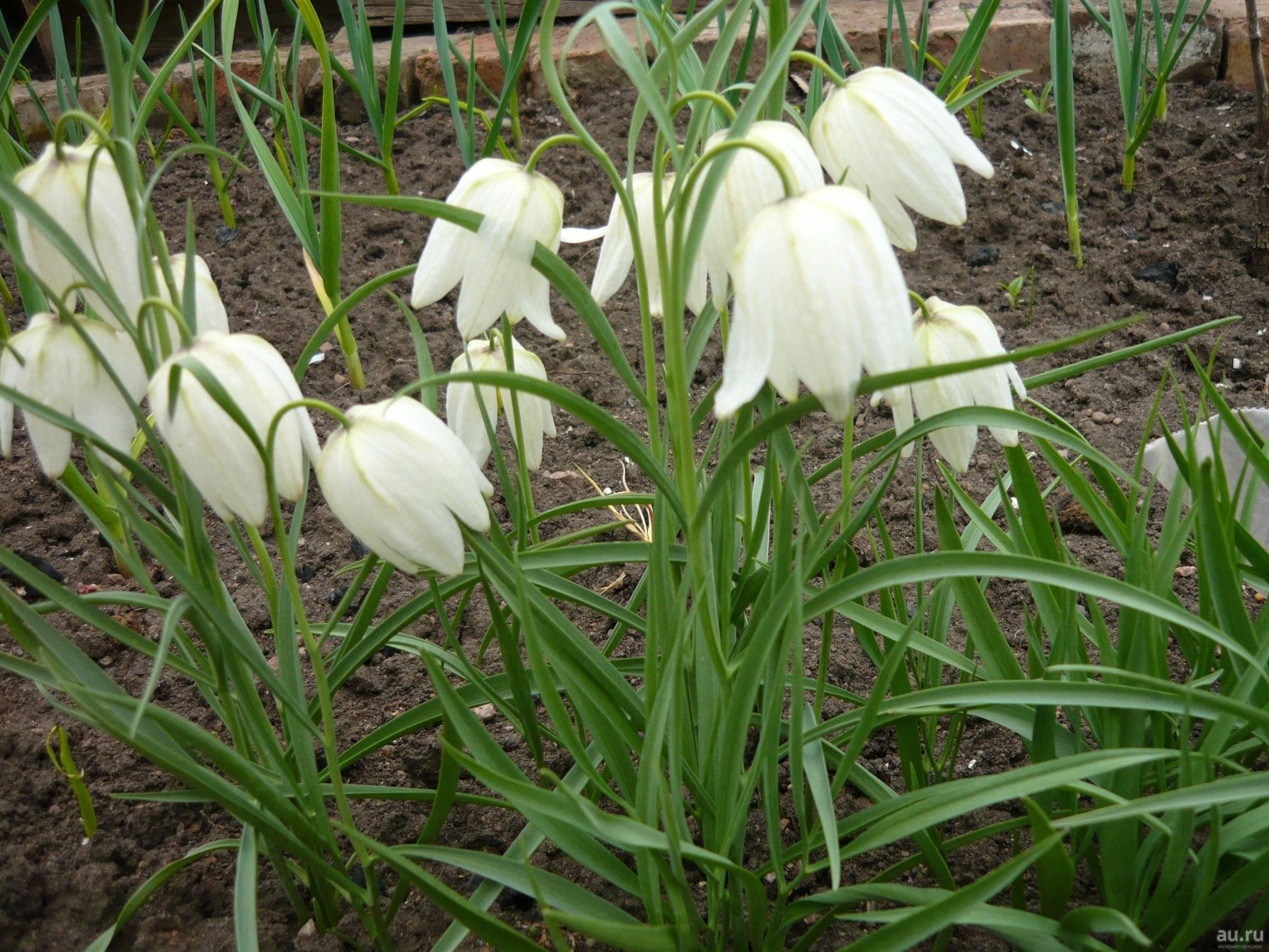 Комнатные луковичные цветы с названиями и фото луковичных растений