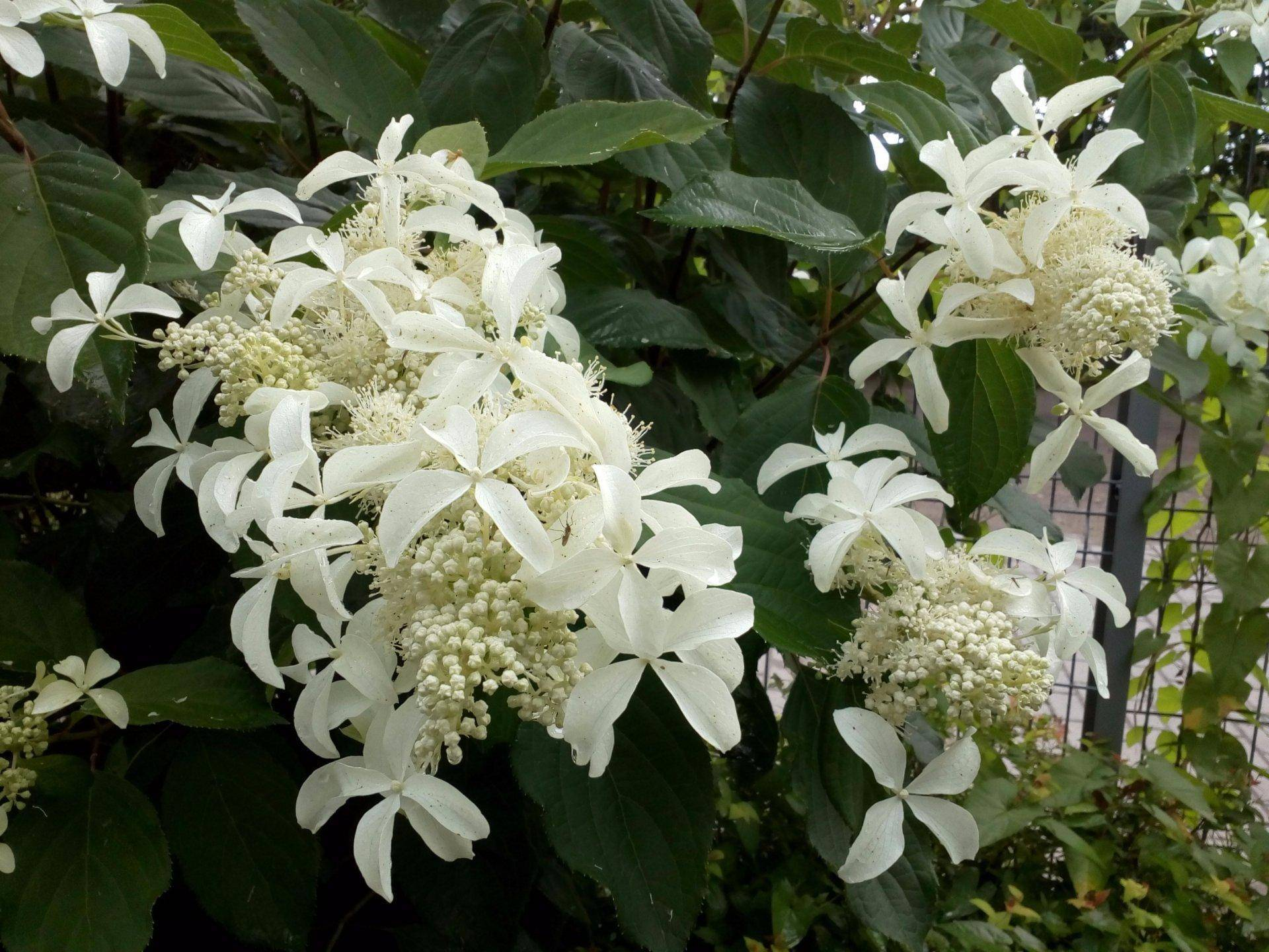 Левана: сорт метельчатой гортензии, посадка и уход в саду, размножение