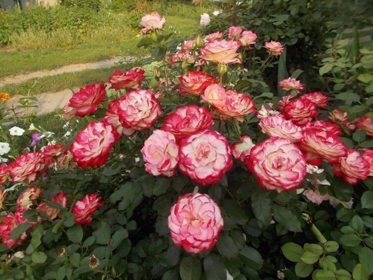О розе юбилей принца монако (jubile du prince de monaco), сорт розы флорибунда
