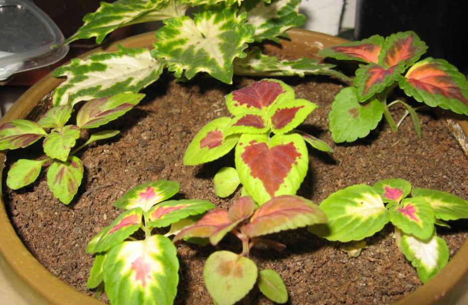 Колеус — выращивание в открытом грунте и дома, уход и болезни + 82 фото