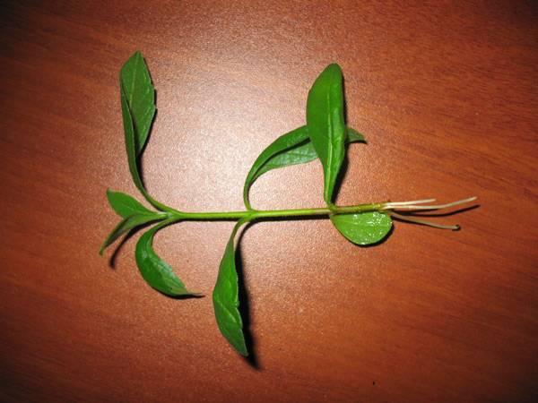 Дерево судьбы — клеродендрум, красивая легенда о названии цветка