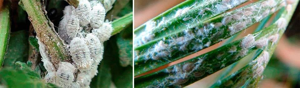 Как избавиться от мучнистого червеца на орхидее?