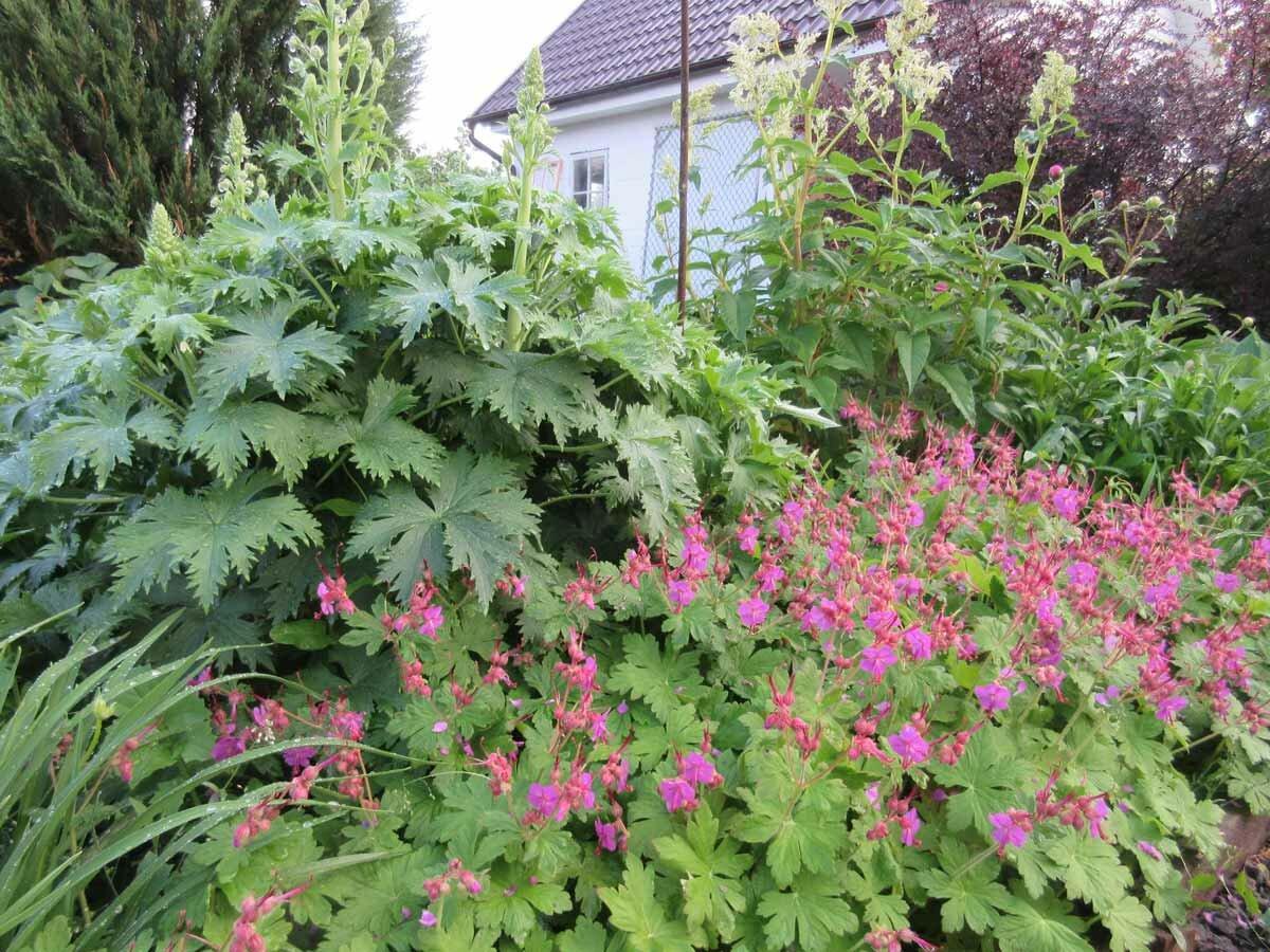 Садовая многолетняя герань: фото, посадка и уход в открытом грунте
