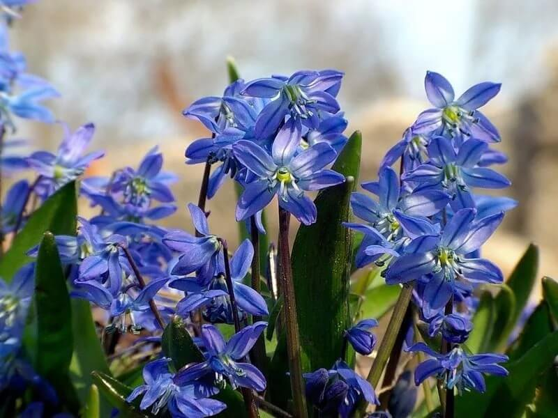 О цветках сциллах: сибирская, литардьера, мищенко, колокольчатая, перуанская