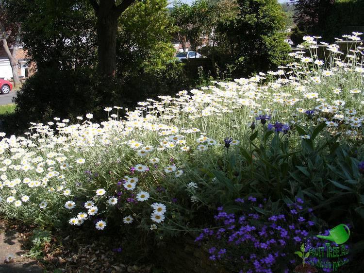 Цветок ромашка садовая - выращивание в домашних условиях. луговая и полевая ромашка - описание с фото.