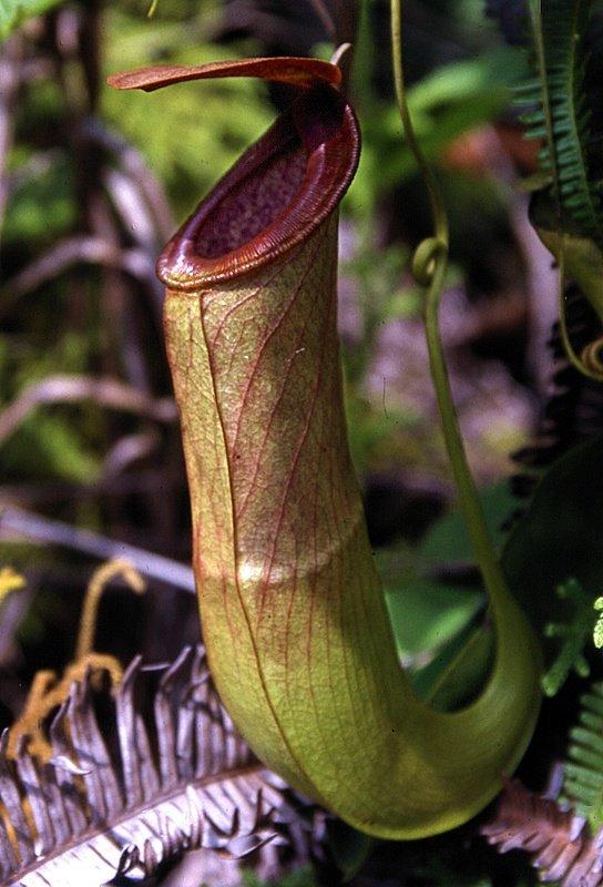 Растение непентес: уход в домашних условиях, фото кувишочника и описание выращивания