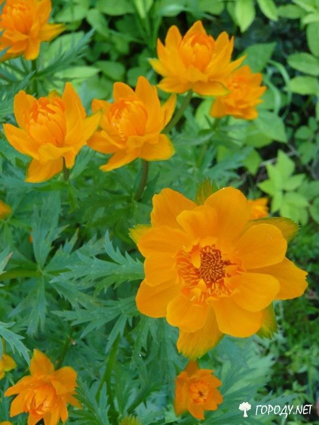 Подробное описание растения купальница