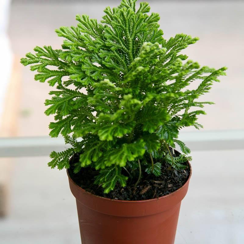 Выращиваем селагинеллу, иерихонскую розу в домашних условиях