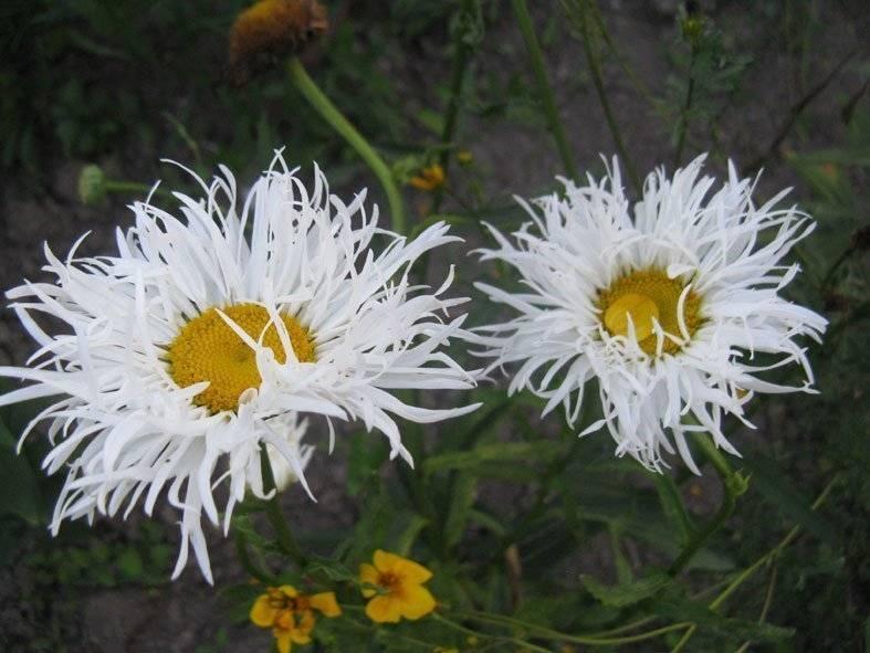 Хризантема крейзи дейзи выращивание из семян. цветок леукантемум нивяник выращивание из семян посадка и уход в открытом грунте фото сортов. посев садовой многолетней ромашки и ее посадка в грунт