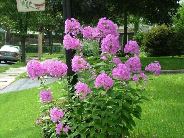 Подкормка лилейников весной и летом: чем и когда удобрять для роста и цветения