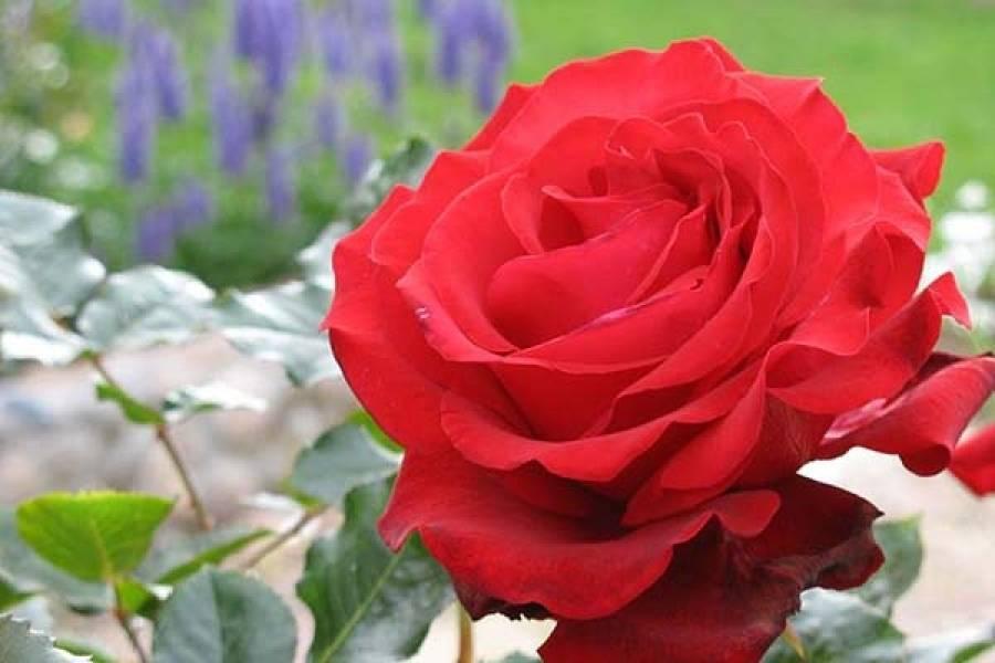 Красные розы: фото и названия кустовых и других видов и сортов этого красивого цветка, в том числе с желтым, белым, оранжевым, темным и даже черным оттенком