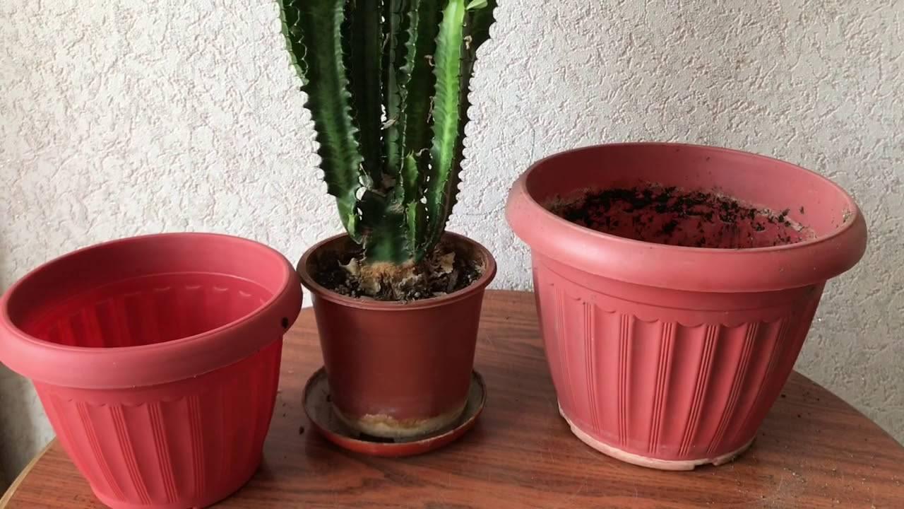 Комнатное растение молочай: описание, выращивание и уход