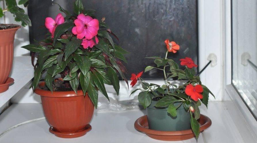 Тропический цветок ванька мокрый или бальзамин садовый: посадка и уход, фото и оптимальные условия выращивания растения
