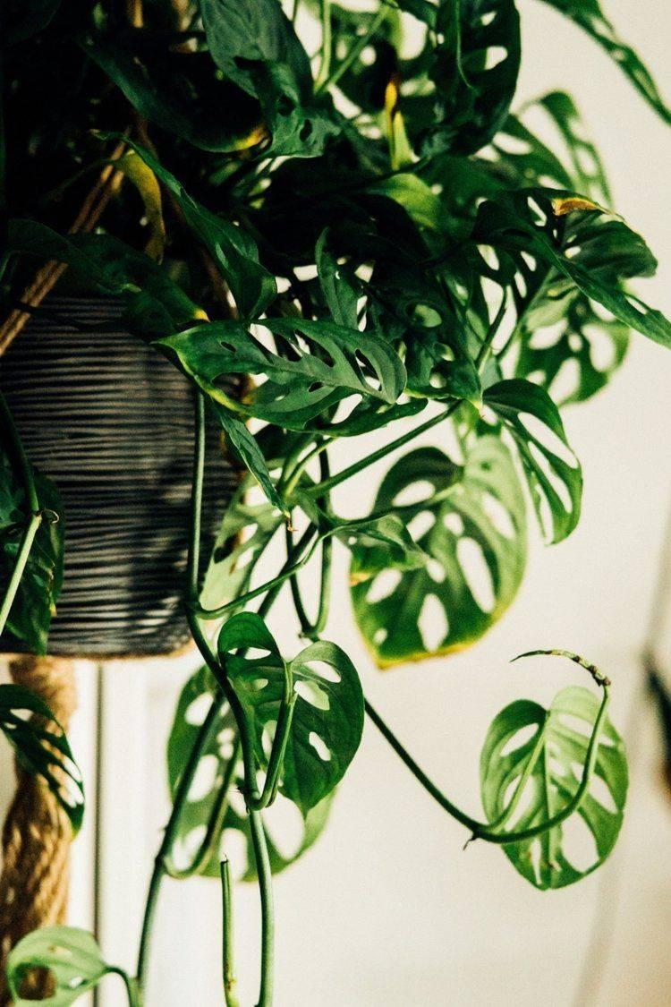 Монстера (53 фото): как выглядит цветок, его цветы и листья? особенности ухода и пересадки в домашних условиях? монстера ядовитая или нет?