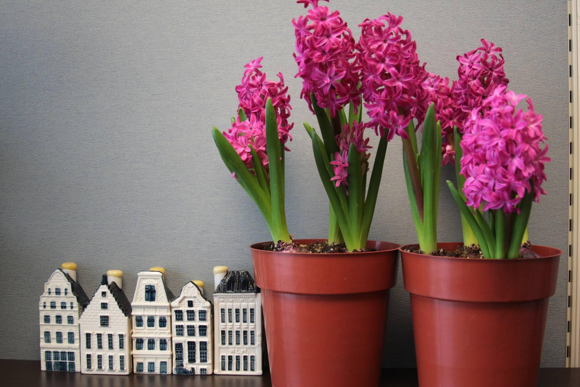 Гиацинт - уход в домашних условиях и правила выгонки в 9 вопросах и ответах