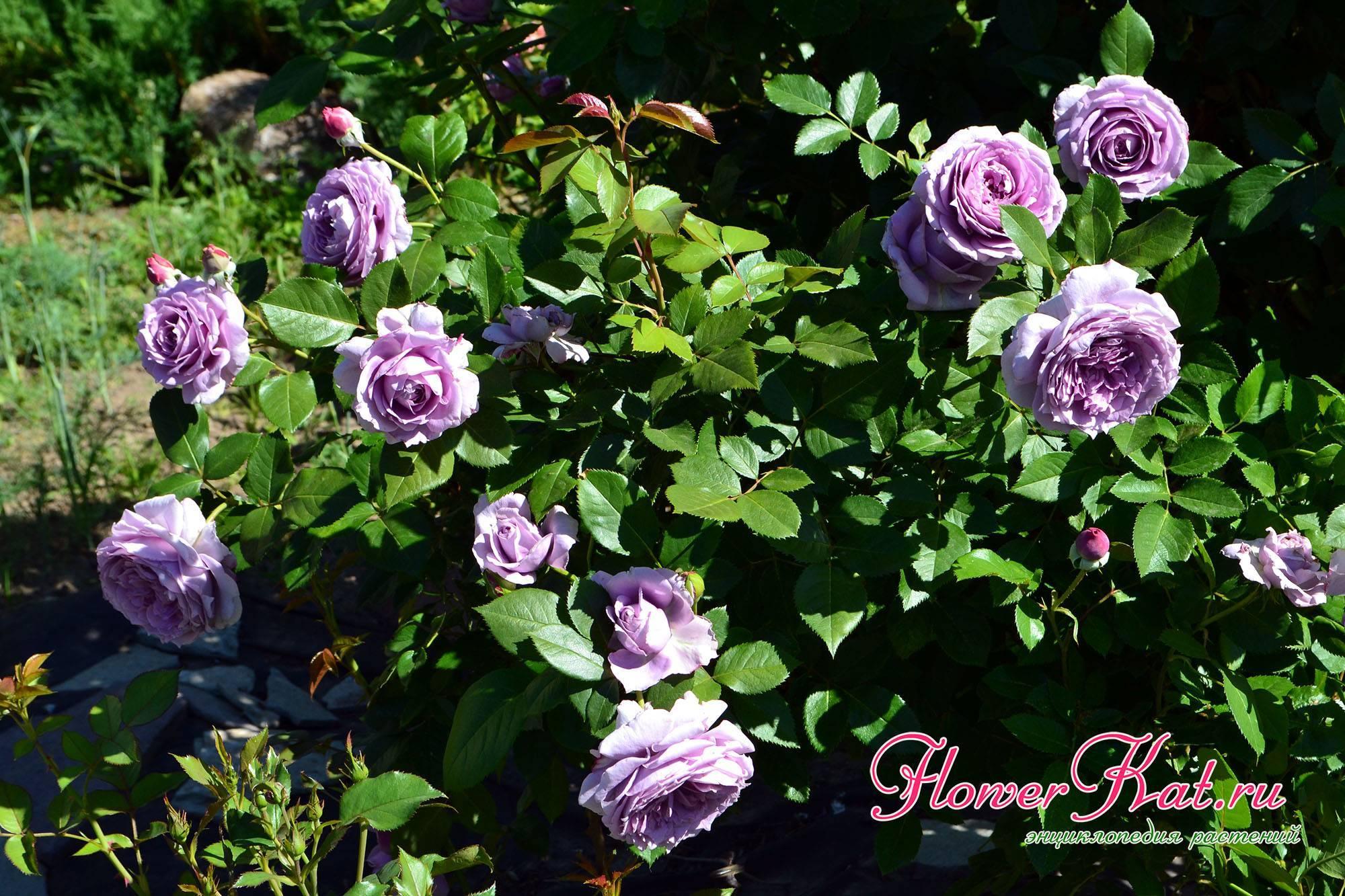 Описание парковой чайно-гибридной розы кордес бриллиант: что это за сорт, уход