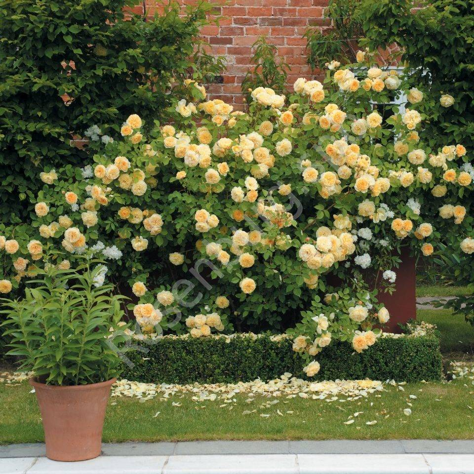 Парковые розы в ландшафтном дизайне: фото, сорта, посадка в открытый грунт, как выращивать шрабы, цветение, обрезка, размножение, видео