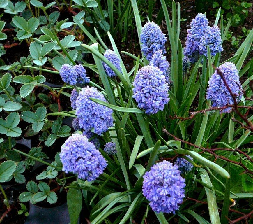 Луковичные садовые цветы: фото, посадка и уход за цветущими луковичными для сада