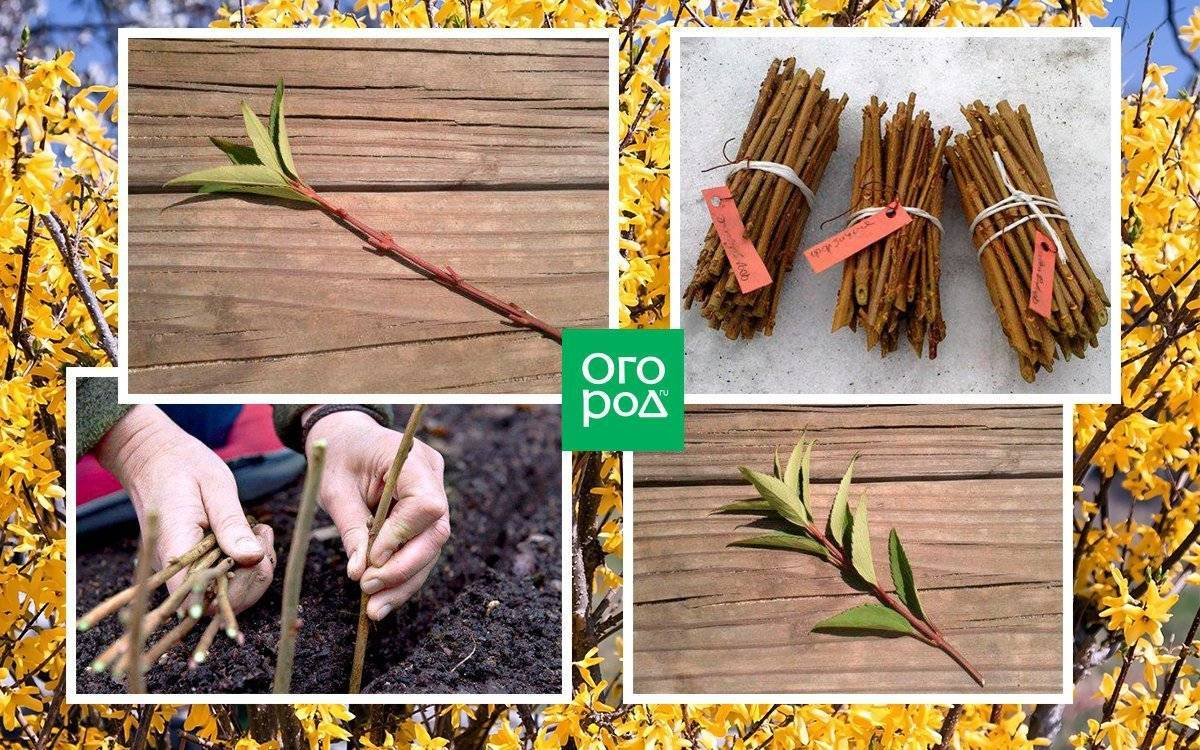 Размножение форзиции (15 фото): как правильно размножить форзицию отводками весной и летом? другие способы