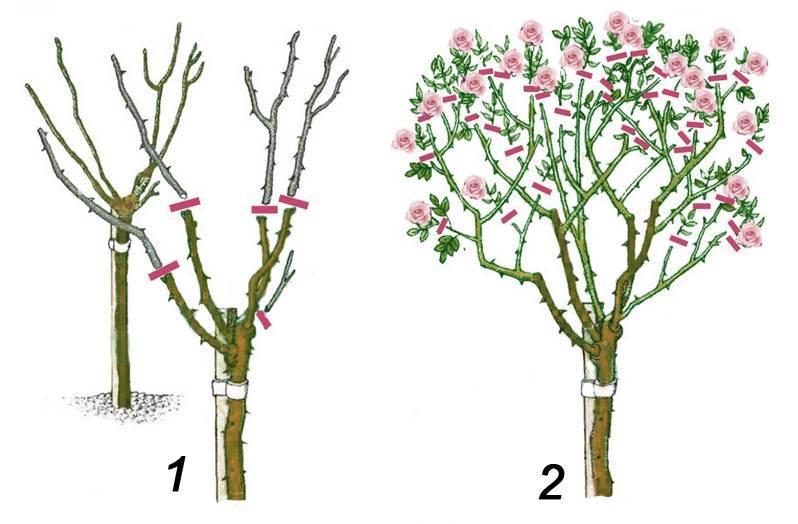 Обрезка плетистой розы после цветения летом