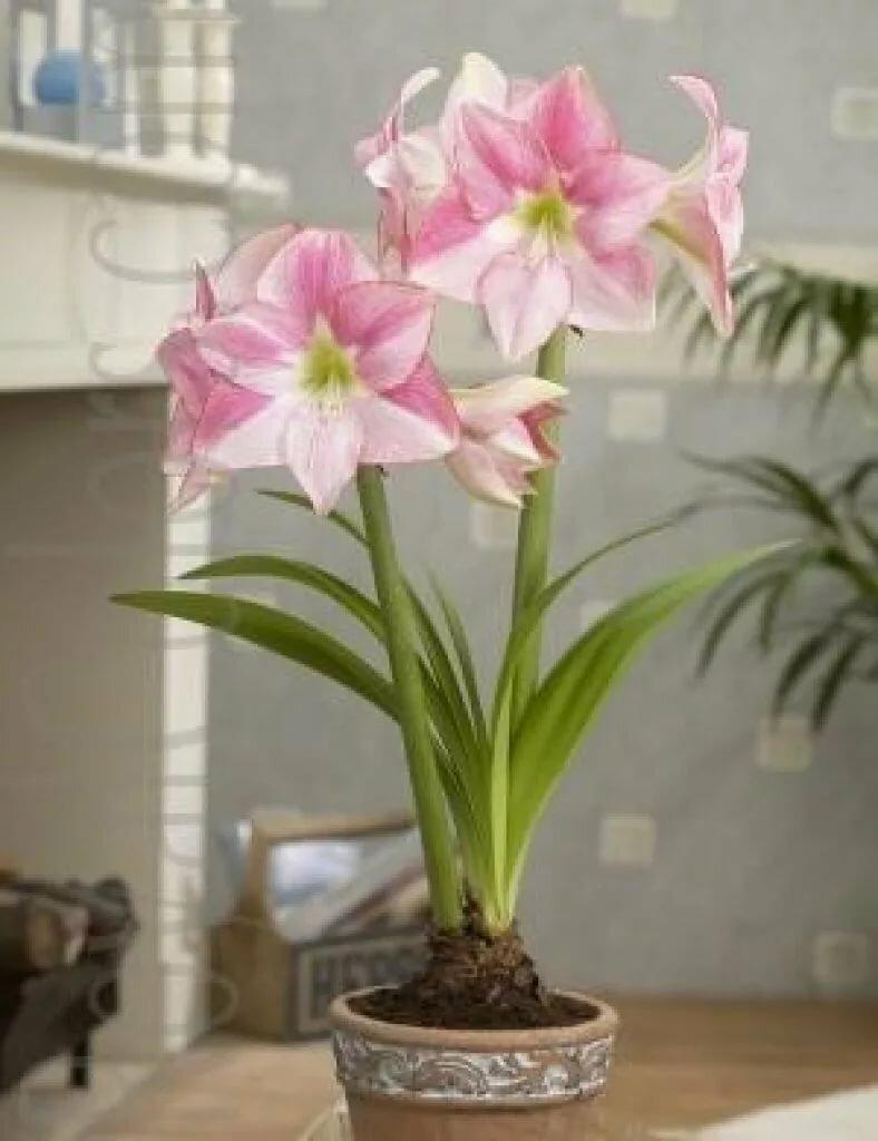 Цветок амариллис – посадка и уход в домашних условиях