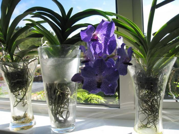 Ванда: выращивание в домашних условиях, виды и сорта