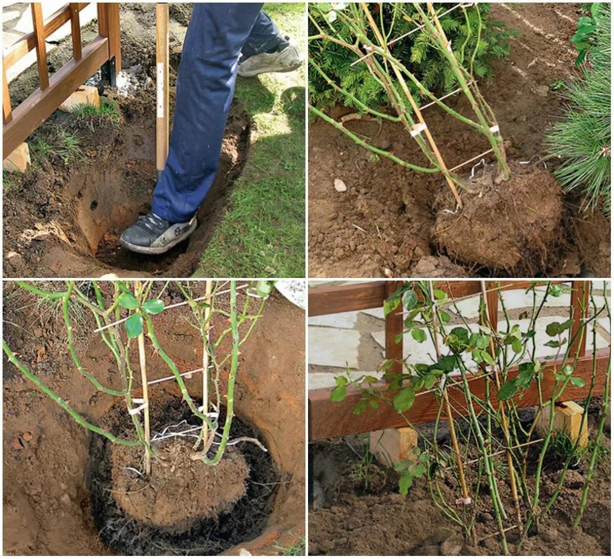 Правила выращивания роз в открытом грунте