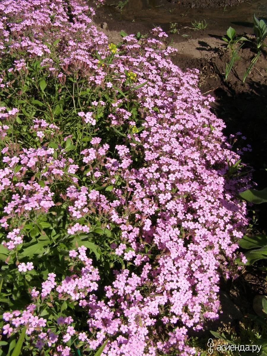 Кустарник дейция: посадка и уход, фото, выращивание в открытом грунте, виды
