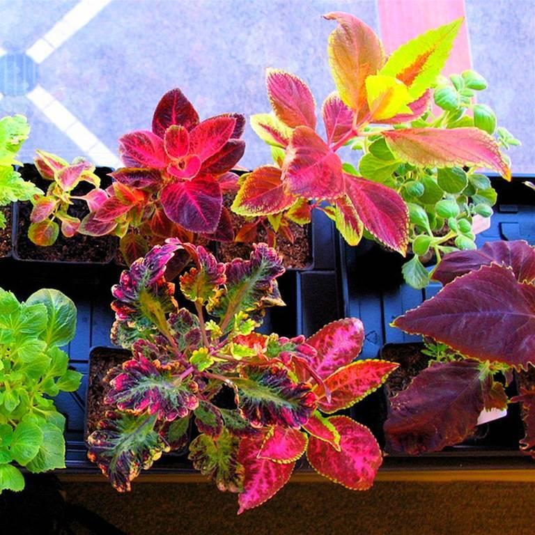 Цветок колеус, посадка и уход в домашних условиях, фото