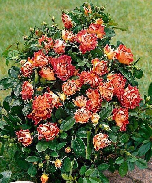 Все о пионе джулия роуз: посадка и уход за гибридом в открытом грунте