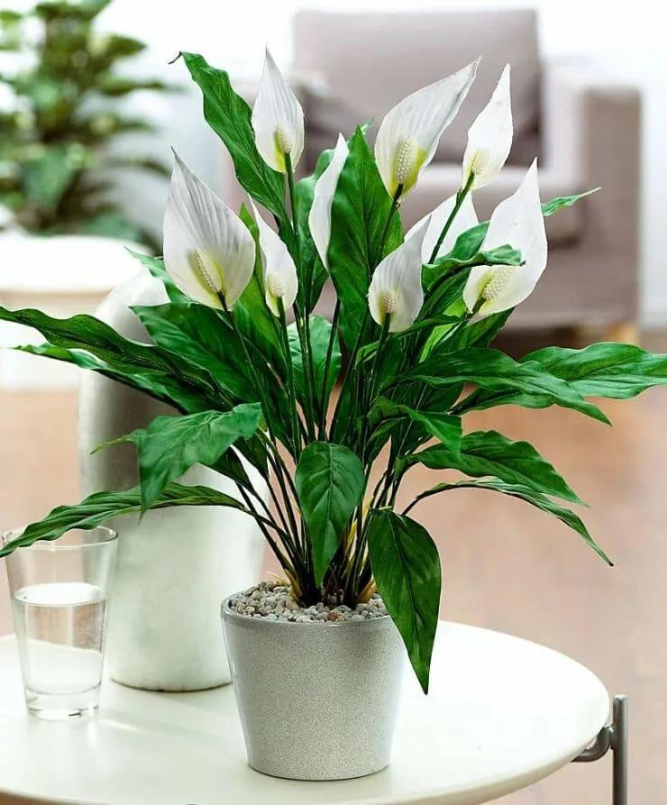 Почему не цветет спатифиллум? что делать, если цветок «женское счастье» выпускает листья и не цветет? как в домашних условиях заставить его распускаться?