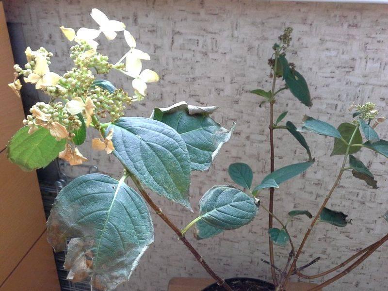 Почему у гортензии бледные листья — чем подкормить?