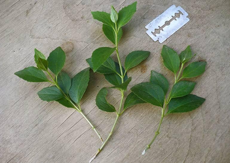 Размножение жасмина методом черенкования: посадка весной и летом