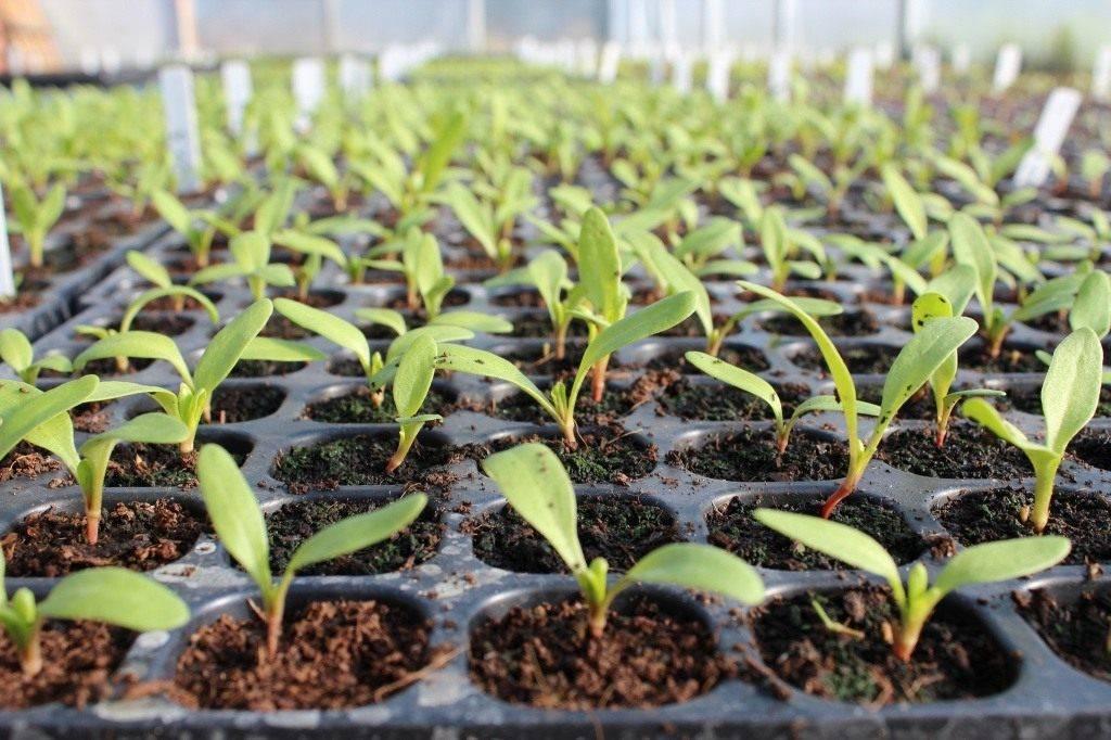Кларкия: выращивание из семян, посадка и уход