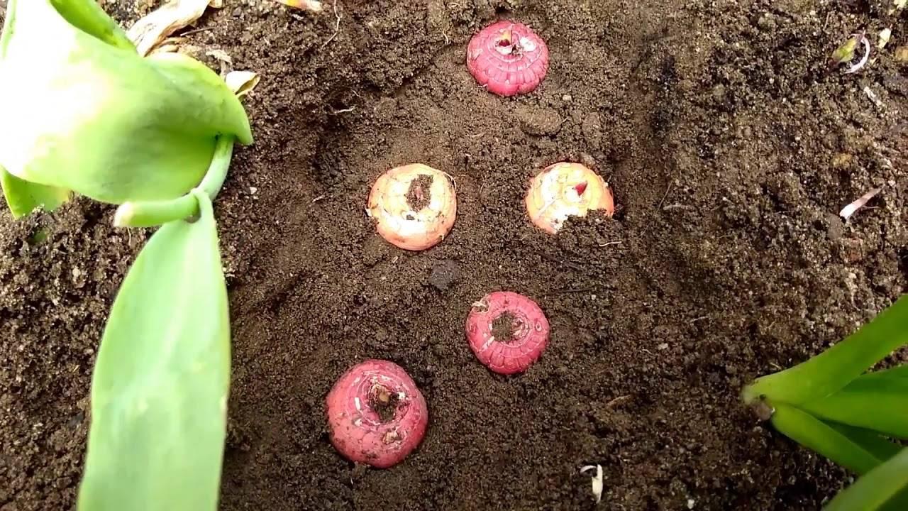 Посадка гладиолусов в открытый грунт весной и дальнейший уход