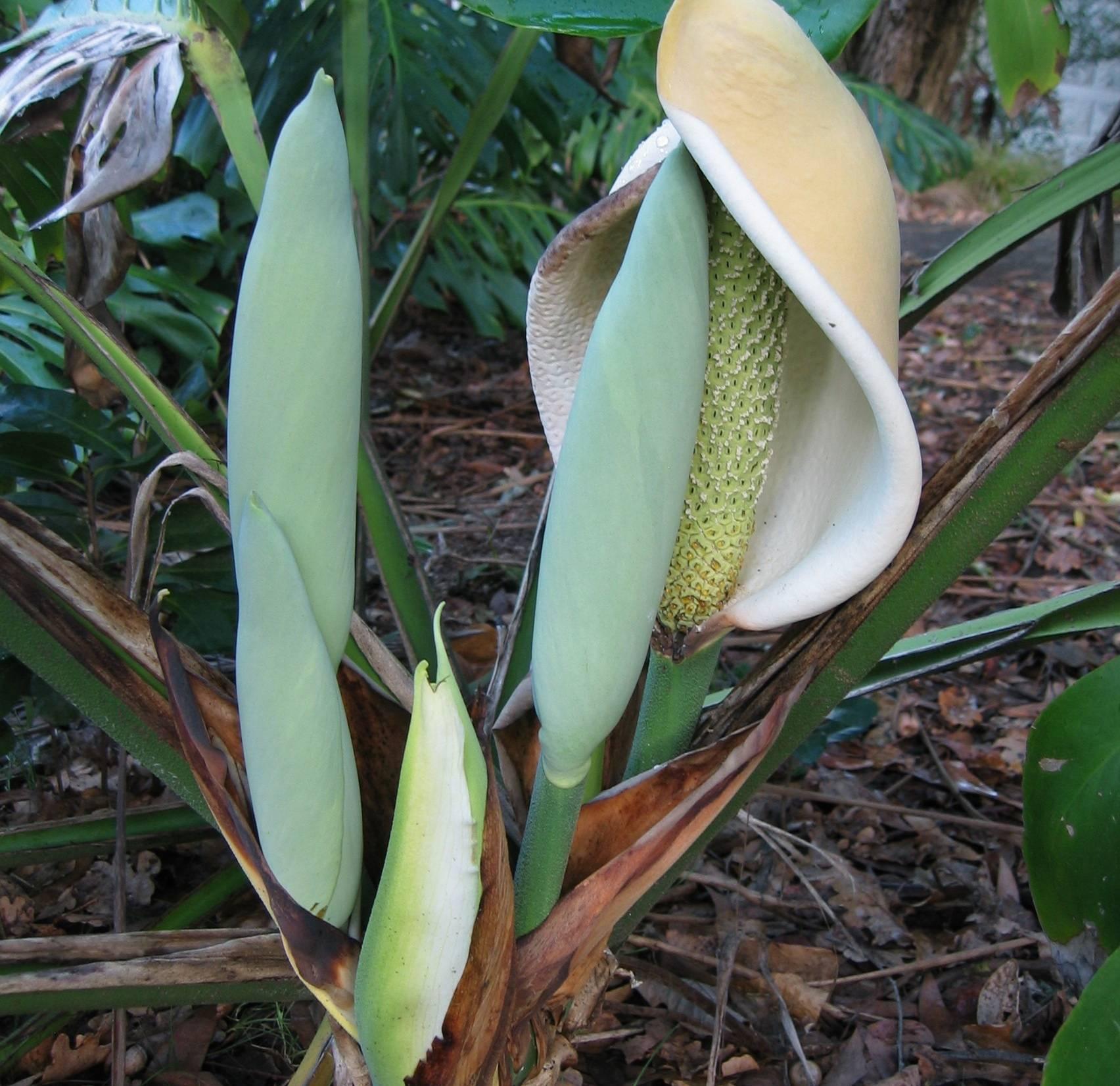 О монстере деликатесной ( deliciosa): ядовитый или съедобный это цветок