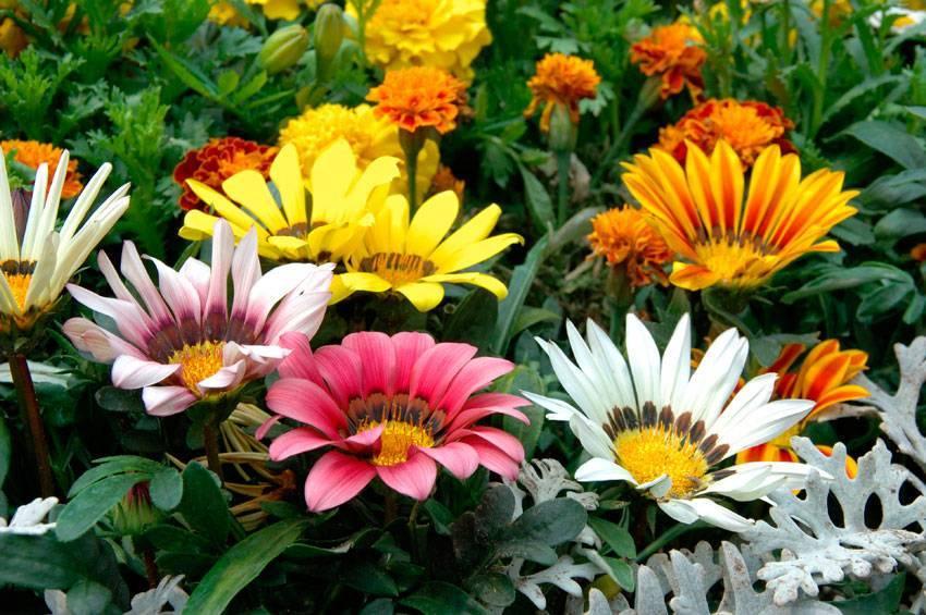Цветы, похожие на ромашки: описание распространенных видов