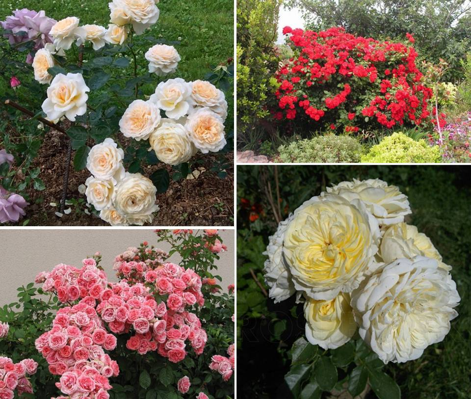 Роза изи даз ит – мечта садовода