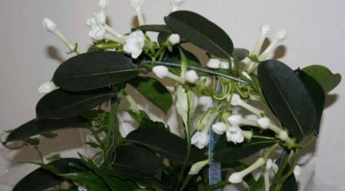 Стефанотис флорибунда: как вырастить мадагаскарский жасмин вдомашних условиях